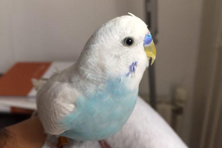 セキセイインコの頭にトゲ!?換羽期に見られる若い羽(筆毛)