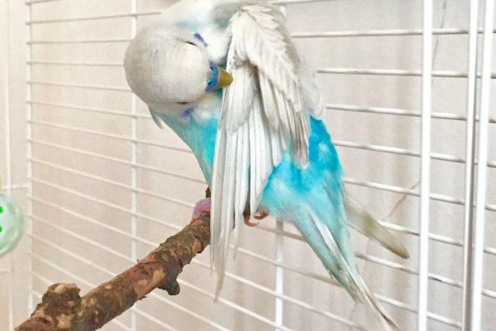 セキセイインコの翼は人間の手・手先の繊細な動きは人間も鳥も重要