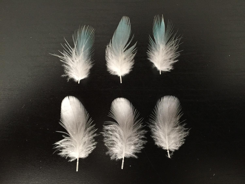 セキセイインコの羽
